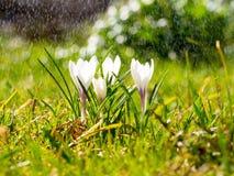De krokus bloeit op weide in de zonneschijn in de regen, lichte motregen Royalty-vrije Stock Fotografie