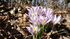 De krokus purpere lente Stock Afbeelding