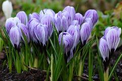 De krokus van de lente Royalty-vrije Stock Foto's