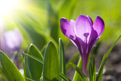 De krokus van de lente Stock Foto's