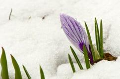 De krokus van de lente op sneeuw Royalty-vrije Stock Foto