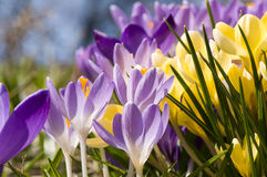 De krokusbloem van de lente Stock Foto