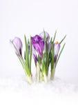 De krokusbloem van de lente in sneeuw Stock Fotografie