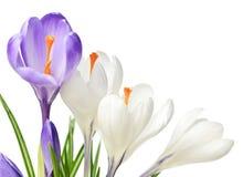 De krokusbloemen van de lente Stock Foto's