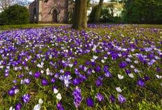 De krokussen _Baden-Baden, Duitsland, Europa Royalty-vrije Stock Afbeelding