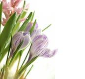 De krokussen van de lente Royalty-vrije Stock Fotografie