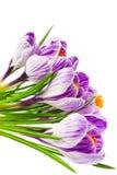 De krokussen van de lente Stock Afbeeldingen