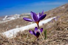 De krokussen van de lente Royalty-vrije Stock Afbeelding