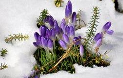 De krokussen van de lente in de sneeuw Stock Afbeeldingen