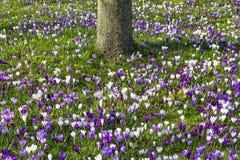 De krokussen van het bloemengebied in de lentegras met boom Stock Afbeelding