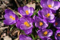 De krokussenclose-up van de lente Stock Foto's