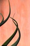 De Krommen van de agave Stock Foto