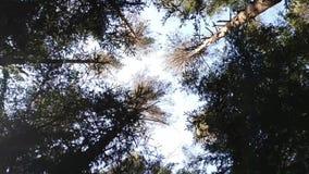 De kroon van de bomen Bos stock videobeelden