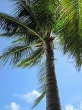 De kroon van de palmen tegen de hemel Royalty-vrije Stock Foto's