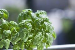 De kruiden van basilicumbladeren Stock Foto