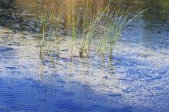 De Kruiden van de rivier Stock Afbeelding
