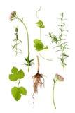 De Kruiden van het valeriaan, van de Lavendel en van de Hop stock fotografie