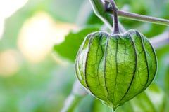 De Kruisbes van de close-upkaap op de boom in organische landbouwbedrijven stock afbeeldingen