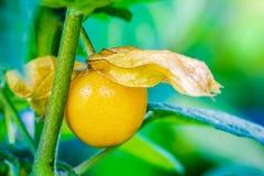 De Kruisbes van de close-upkaap wordt gepeld weg op de boom in organische landbouwbedrijven stock foto's