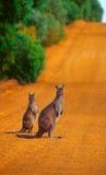 De kruising van kangoeroes Royalty-vrije Stock Afbeeldingen
