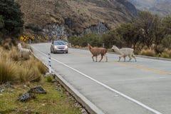De kruising van lama's stock afbeeldingen
