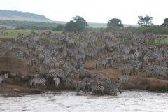 De kruising van Zebras Stock Afbeelding