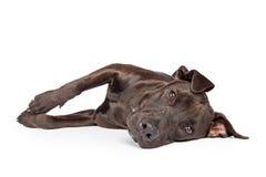 De Kruisingshond die van Labrador aan Kant leggen Stock Foto's