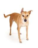 De Kruisingshond van Shibainu Status Royalty-vrije Stock Afbeelding