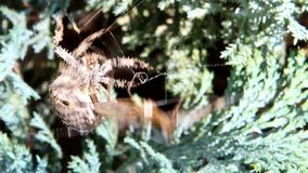 De kruisspin verpakt Langpootmug in zijn spinneweb stock footage