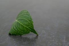 De Krul van het hydrangea hortensiablad stock foto