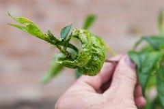 De krul van het perzikblad, taphrina deformans stock afbeeldingen