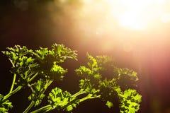 De krullende close-up van peterseliebladeren in de tuin royalty-vrije stock afbeeldingen