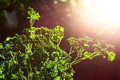 De krullende close-up van peterseliebladeren in de tuin stock afbeeldingen