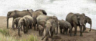 De kudde van Afrikaanse Bush-Olifanten toont verdedigingsgedrag aan stock afbeeldingen