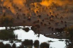 De Kudde van buffels Royalty-vrije Stock Afbeeldingen