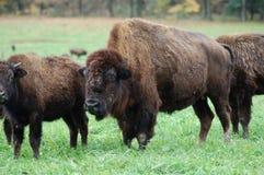 De Kudde van buffels royalty-vrije stock afbeelding