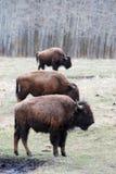 De kudde van de bizon royalty-vrije stock fotografie