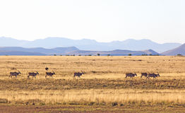 De Kudde van de elandantilope Royalty-vrije Stock Fotografie