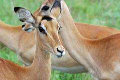 De Kudde van de impala Royalty-vrije Stock Foto's
