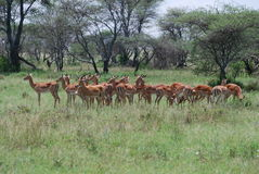 De Kudde van de impala royalty-vrije stock afbeelding