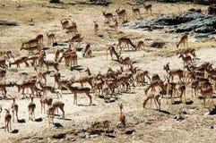 De kudde van de impala Stock Afbeelding