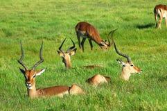 De kudde van de impala Royalty-vrije Stock Afbeeldingen