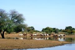 De kudde van de koe door Afrikaans meer stock afbeeldingen