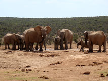 De Kudde van de olifant Royalty-vrije Stock Foto's