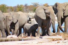 De Kudde van de olifant stock afbeeldingen
