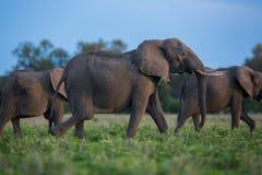 De kudde van de olifant in Afrika, Zambia royalty-vrije stock fotografie