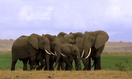 De kudde van de olifant in Amboseli Stock Foto's