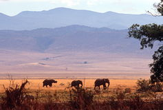 De kudde van de olifant, Ngorongoro Krater, Tanzania Stock Foto's