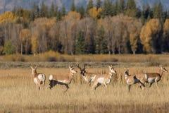 De Kudde van de Pronghornantilope in Sleur stock fotografie