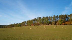 De kudde van deers Stock Afbeeldingen